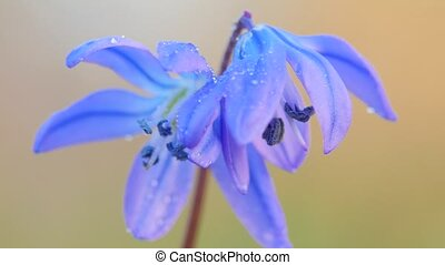 Blue snowdrop blossoming at the beginning of spring Macro -...