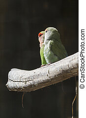 agapornis lovebirds