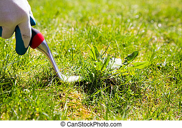 Weed pulling - Using a weed pulling tool to remove a weed...