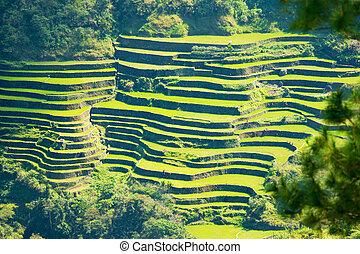 arroz, Terraços, em, a, Filipinas., arroz, cultivo,...