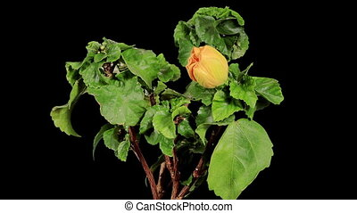 Blooming yellow Hibiscus flower buds ALPHA matte, Hibiscus...