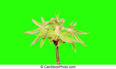 Blooming chestnut branches flower buds green screen, Full...
