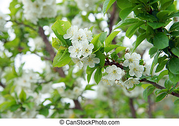 Cherry Tree - blossoming cherry tree
