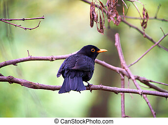 Blackbird on a branch in nature
