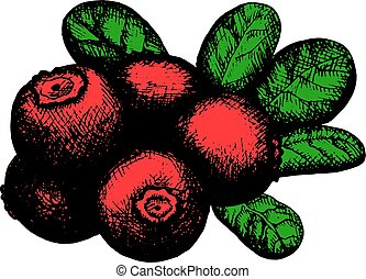 sketch of lingonberry - Hand drawn artistic sketch of red...