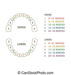 tooth chart, human teeth - vector dental illustration, tooth...