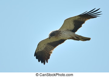 The Booted Eagle Aquila pennata - The Booted Eagle in flight...