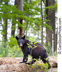 Black Bear in the Smokies - Young black bear in the Smoky...