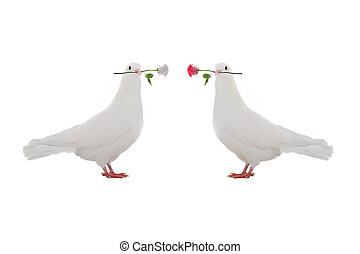 two  dove - two pigeon with a rose on a white background