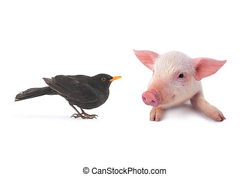 pig and turdus merula on a white background studio