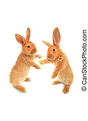 standing rabbit - two standing rabbit on a white background