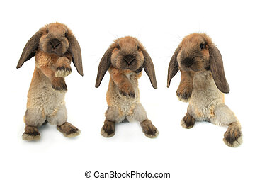 three standing rabbit on a white background