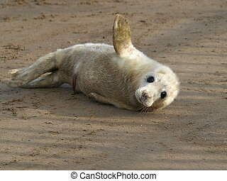 SEal pup - Very young Atlantic Grey Seal pup on sand
