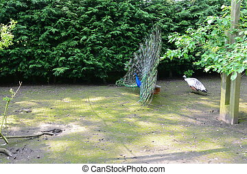 Peacock and Peahen - Pair of peafowl performing a ritual...