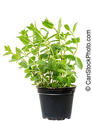 Fresh Mint plant in a flower pot - Isolated fresh mint plant...
