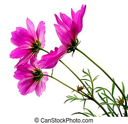 cosmea - some lovely pink cosmea in lateral view