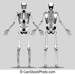 Front and back view of a human skeleton (male) on the gray...