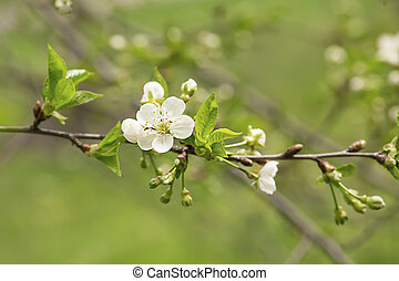 Cherry tree flowers - Blossoming of cherry flowers in spring...