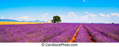 Lavender flowers blooming field, house and tree. Provence,...