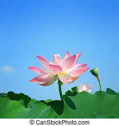 lotus, zomer