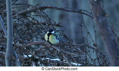 Great Tit Bird Parus major Sitting on Tree Branch in Winter...