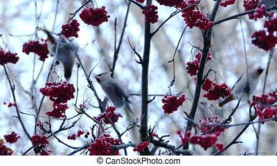 Bohemian Waxwing (Bombycilla Garrulus) Birds Eating Rowan...