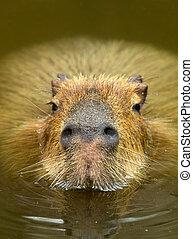 Capybara - Close up of a Capybara