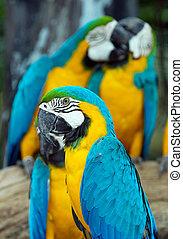 Macaws parrots - colorful Macaws parrots