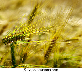 spike - Yellow grain ready for harvest growing in a farm...