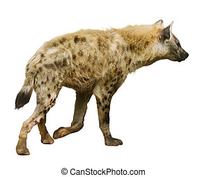 Spotted hyena Isolated over white background