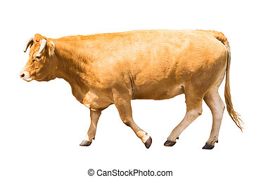 Adult cow. Isolated on white background