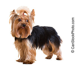 Yorkshire Terrier staying on white