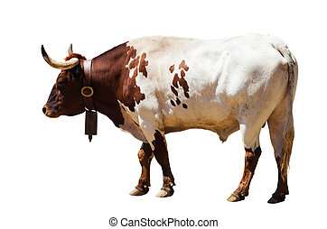 Standing adult bull Isolated over white background