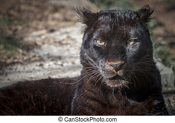 black panther - portrait of a beautiful black panther