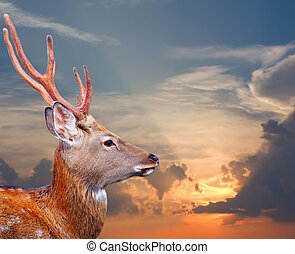Sika deer against sunset sky - Head of Sika deer Cervus...