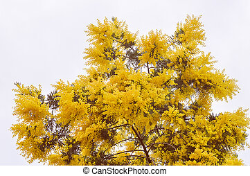 Retro look Mimose flower - Vintage looking Yellow Mimosa...