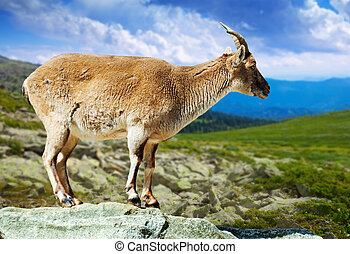 barbary sheep in wildness area - Standing barbary sheep in...