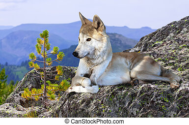 White wolf lays on rock in wildness mountains area