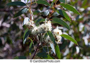 blossoming soap mallee Eucalyptus diversifolia plant