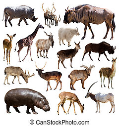 Artiodactyla mammal animals over white background - Set of...