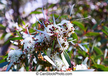 Closeup of blossoming soap mallee plant - Closeup of...