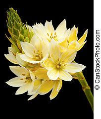 star-of-bethlehem flowers - single stem of star-of-bethlehem...