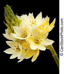 star-of-bethlehem flowers - single stem of star-of-bethlehem...