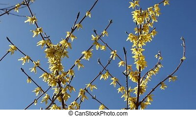 yellow flowers forthysia - branch of bright yellow forthysia...