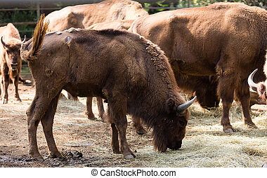 herd of european bisons Bison bonasus, also known as wisent...