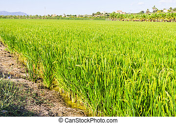rice fields at Ebro Delta in summer