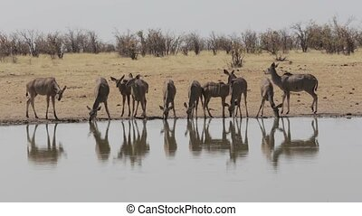 herd of Kudu drinking from waterhole, Etosha national Park,...