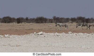 Zebras in african bush Etosha national Park, Ombika, Kunene,...