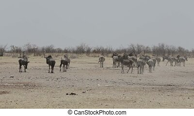 Zebras and wilderbeest in african bush. Etosha national...