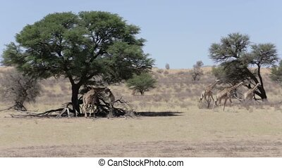 majestic Giraffa camelopardalis in national park kgalagadi
